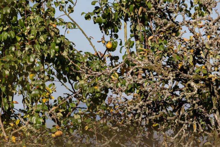 Kendal Fellside fruit trees