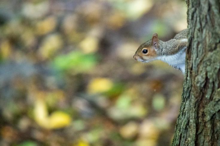 Kendal squirrel
